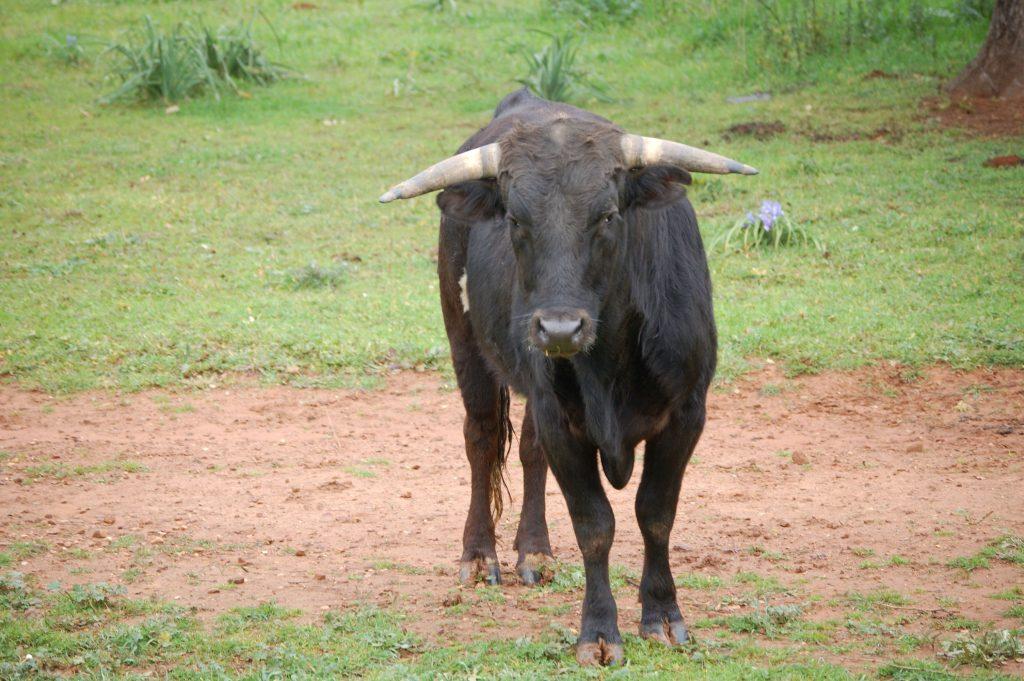 rondreis Andalusie stier